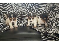 3 Beautiful Jack Russell Puppies
