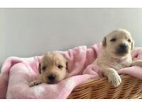 Apricot Labradoodle F1bb Puppies
