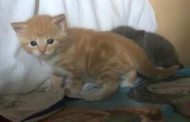 Gorgeous kittens for sale, beautiful markings!