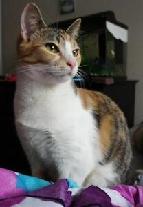 """Young Female Cat - Calico: """"Butterscotch"""""""