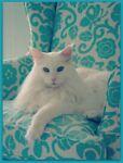turquoisecats