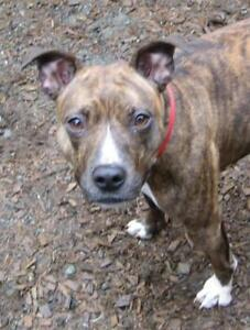 "Adult Female Dog - Pit Bull Terrier: ""Clara"""
