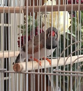 Black-Breasted baby Zebra Finch and large cage for sale