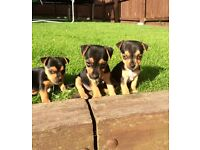 **Miniature Jack Russell pups for sale**