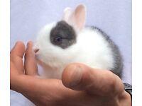Baby Netherlands dwarf x rabbits