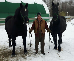 Team of percheron mares forsale