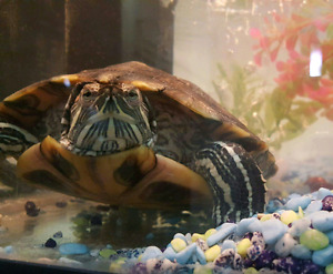 Turtle - Red ear slider with tank and accessories