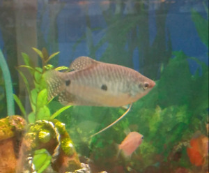 Blue Gourami (free to a good home)