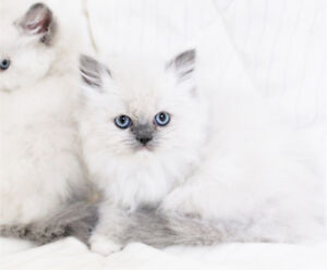 Beautiful Persian Kittens are now ready for their new homes