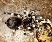 A. geniculata - Brazilian White Knee tarantula - female
