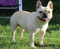 CANADIAN KENNEL CLUB REGISTERED FRENCH BULLDOG PUPPIES