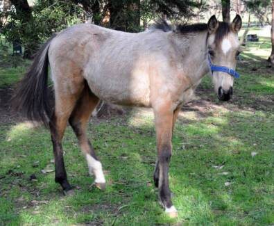 Buckskin Colt Stock Horse X QH yearling Grant Area Preview
