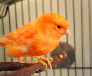 Beautiful Red Factor Male Canary Bird