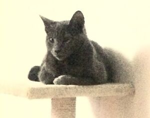 Blue kitten missing Hallam Casey Area Preview