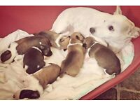 Beautiful Chihuahua X Jack Russell pups for sale