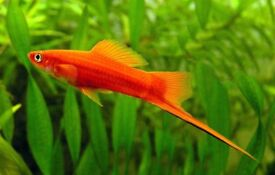 Adult swordtail for sale newham