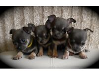 Blue KC Registered Pedigree Chihuahua Puppies