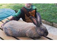 Continental Giant Boy Bunny - Sooty Fawn