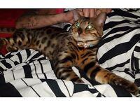 Bengal cat 10 months