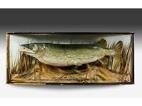 wanted a large cased Irish pike