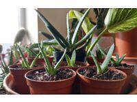 Houseplants - Indoor plants - Succulents - Gasteria