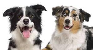Looking for: Border Collie/ Australian Shepherd Puppy