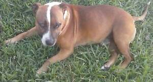 staffy golden boy hes beautiful Muswellbrook Muswellbrook Area Preview