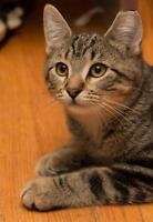 """Baby Male Cat - Domestic Short Hair: """"Angus"""""""