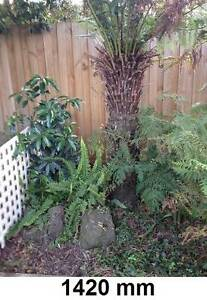 Seven soft tree ferns between 500 and 1500 mm Rowville Knox Area Preview