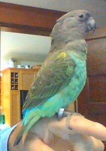 Meyers Parrot and Large Cage