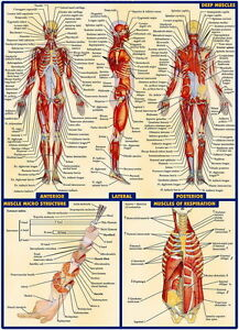 03 Human Anatomy All System Deep Muscles Map 14