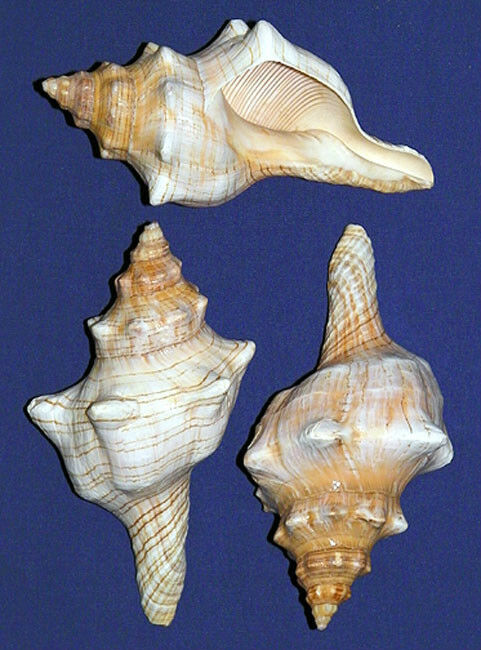 "Lambis Chiragra Spider Conch Shells ~4/""-5/""~ Seashell Craft Select 2//4//6 Pcs."