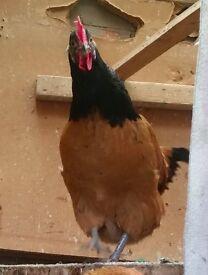 7 month Purebreed Vorwerk POL hen
