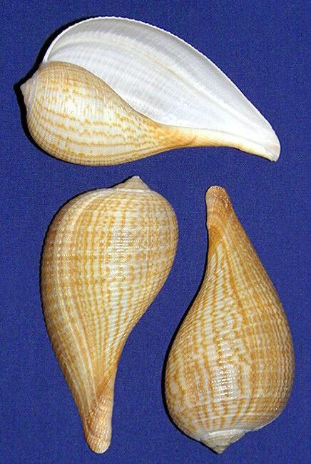 "Gracilis Fig Seashell ~ Ficus gracilis 3/"" ~Shell Craft Supply Select 2//4//6 Pcs."