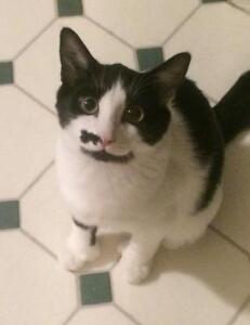 "Baby Male Cat - Domestic Short Hair (Black & White): ""Soliel 1"""