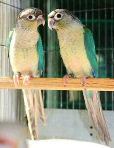 Bebes Perroquets RARE Conure Yello Sided X Turquoise  NAM