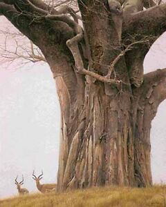 Robert Bateman - Baobab Tree and Impala