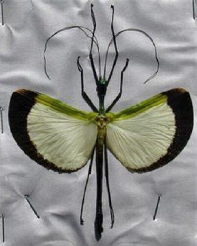 Umbrella Winged Stick Bug Tagesoidea nigrofasciata Male Spread  FAST FROM USA