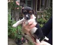 2 Jack Russell puppies for sale 8 weeks, 1 dog and 1 bitch left