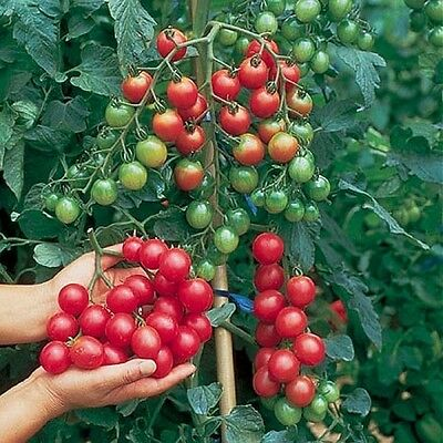 VEGETABLE TOMATO CHERRY SWEET MILLION F1 20 FINEST SEEDS
