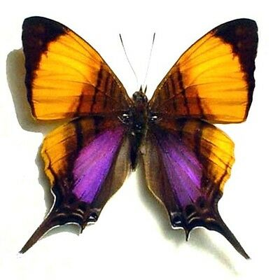 Real Marpesia Marcella Daggerwing Framed Butterfly 300