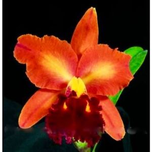 Orchid BLC Dickie Brooks Autumn Symphony -- blooms in 2-3 yrs