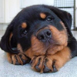 Rottweiler puppy wanted