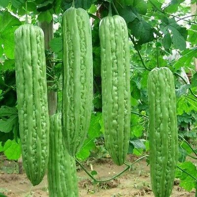 Best! 10 seeds Oriental Vegetable Seeds - Bitter Melon / Bitter  Free Delivery