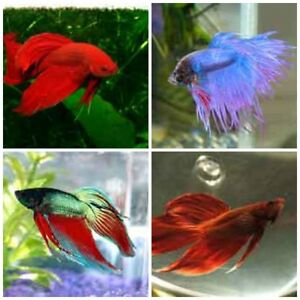 Taking in unwanted betta fish ( male or female . any condition.
