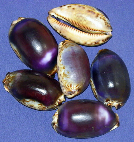 "Cypraea Mauritia Arabica Arabian Cowry Shells 2""-2-1/2"" Select 2/4 Shells"