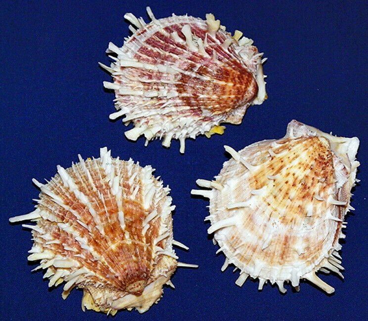 """Thorny Oyster Spondylus Imperialis Pr Shell 2/""""-2-1//2/"""" ~ 1 Paired Shell"""
