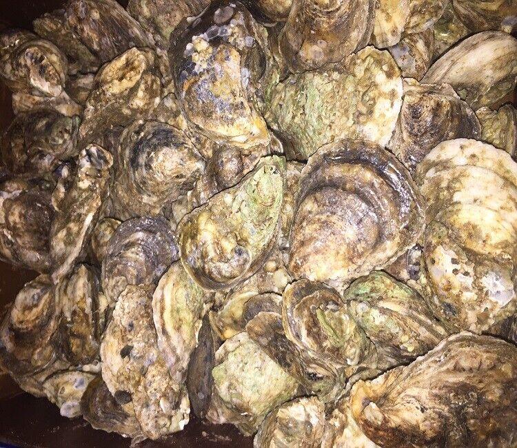 (50 ct) Whole Shelled Fresh East Coast Fresh Oysters