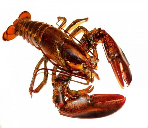 (4) 1 lb  LIVE Whole Maine Lobsters
