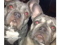 2 blue French bulldogs open for offers